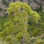 El pino carrasco (Pinus halepensis).- Autor Gines Toral