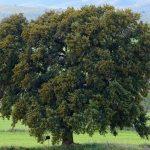 Ejemplar singular de encina (Quercus ilex) .- Autor Gines Toral